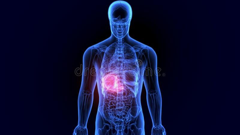 ejemplo 3d de la anatomía del estómago del cuerpo humano stock de ilustración