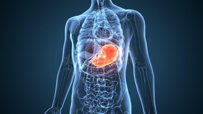 ejemplo 3d de la anatomía del estómago del cuerpo humano libre illustration