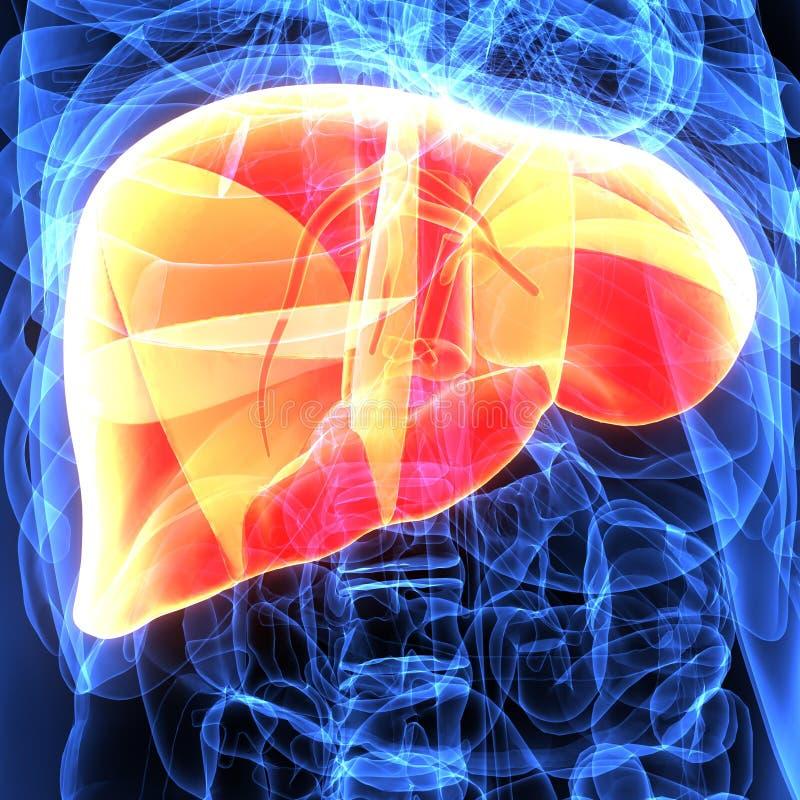 Ejemplo 3d De La Anatomía Del Hígado Del Cuerpo Humano Stock de ...