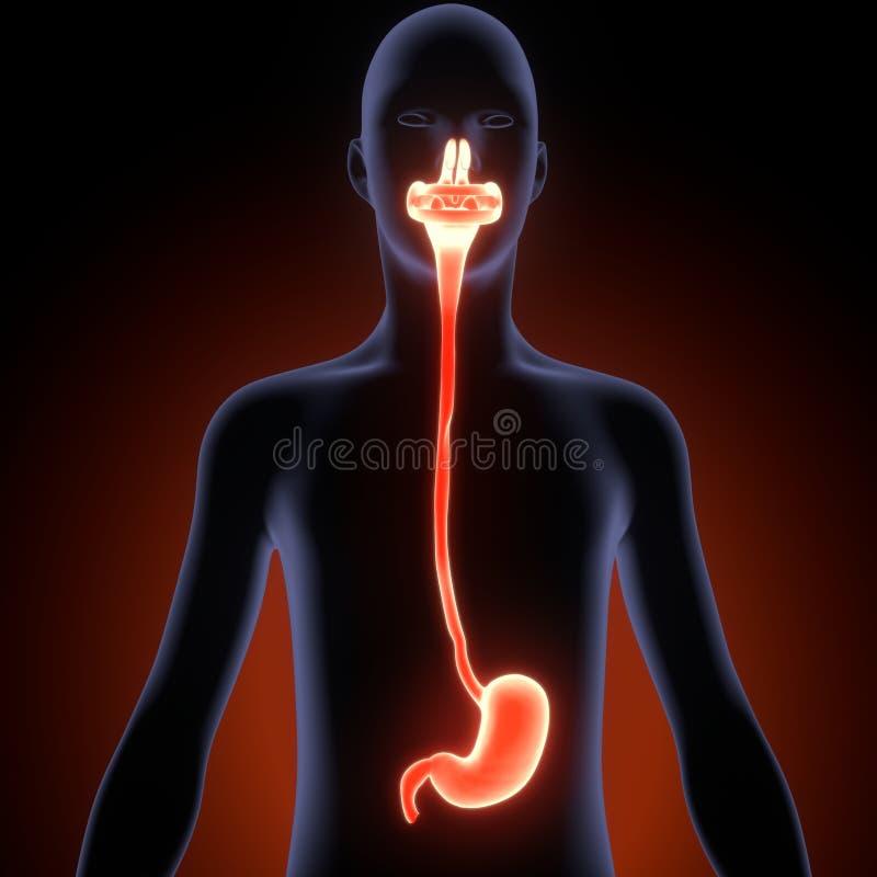 Ejemplo 3d De La Anatomía Del Sistema Digestivo Del Cuerpo Humano ...