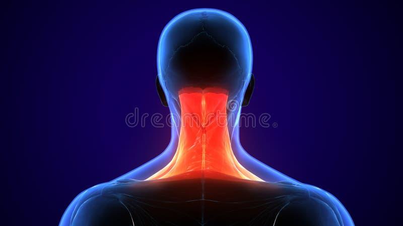 ejemplo 3d de la anatomía humana del músculo del cuello para la educación ilustración del vector
