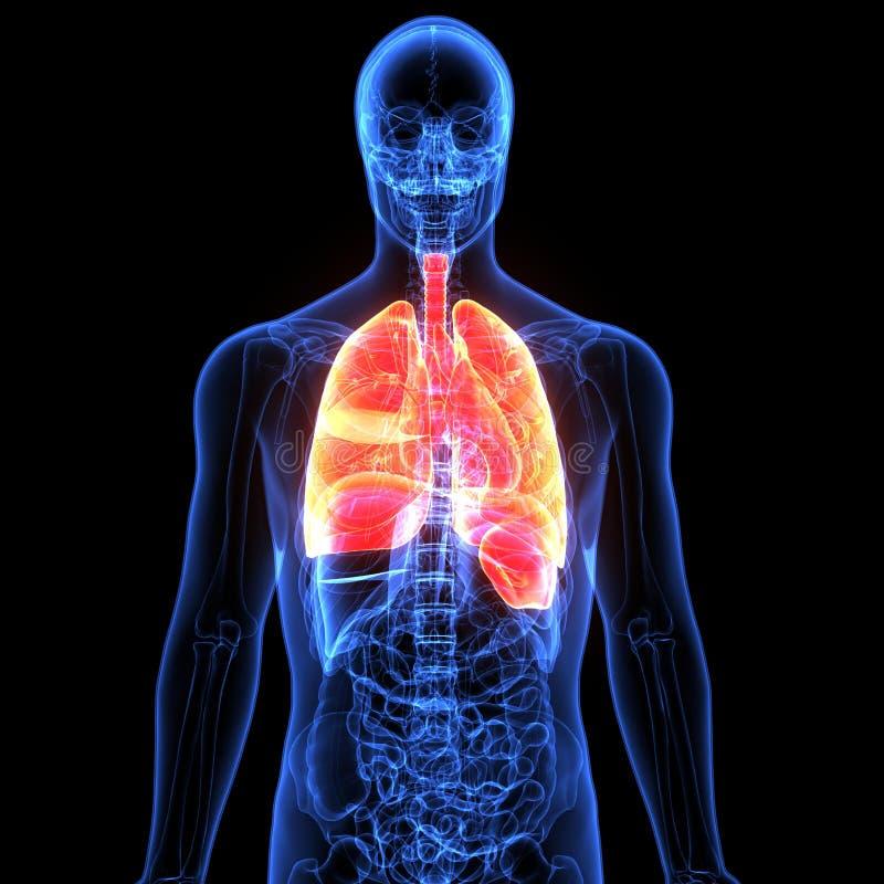 Ejemplo 3d De La Anatomía De Los Pulmones Del órgano Del Cuerpo ...