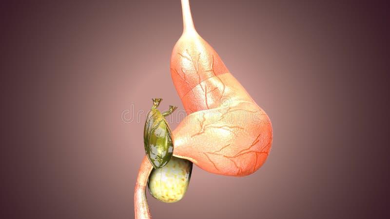 ejemplo 3d de la anatom?a del est?mago del cuerpo humano stock de ilustración