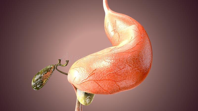 ejemplo 3d de la anatom?a del est?mago del cuerpo humano ilustración del vector