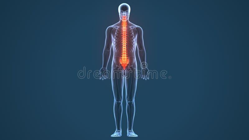ejemplo 3D de la espina dorsal - pieza del esqueleto humano libre illustration