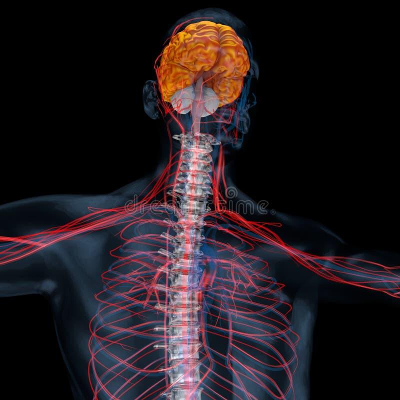 ejemplo 3d del cerebelo, cerebro stock de ilustración