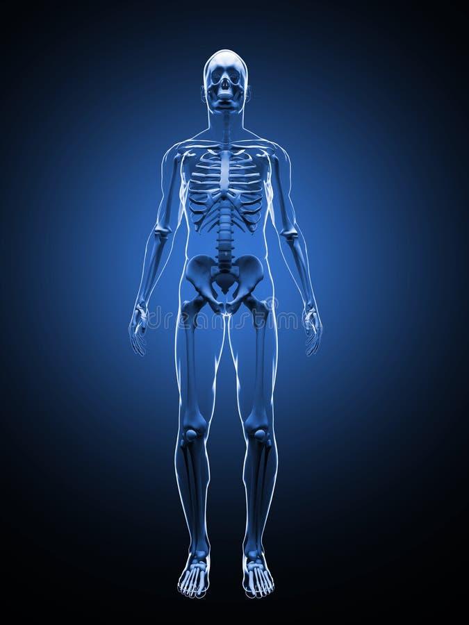 ejemplo 3D del esqueleto humano Front View Plantilla esquelética foto de archivo