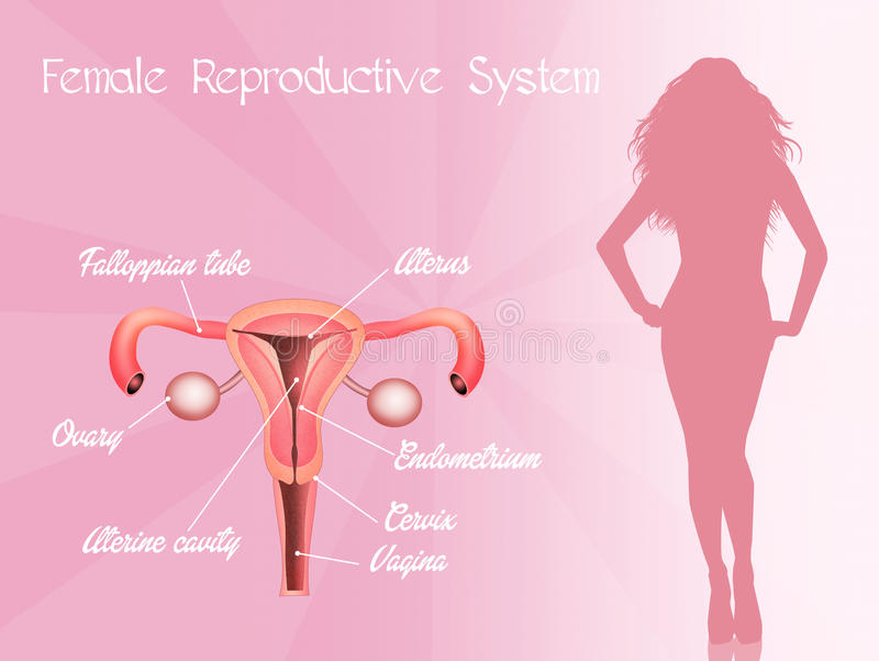 Ejemplo de órganos genitales femeninos stock de ilustración