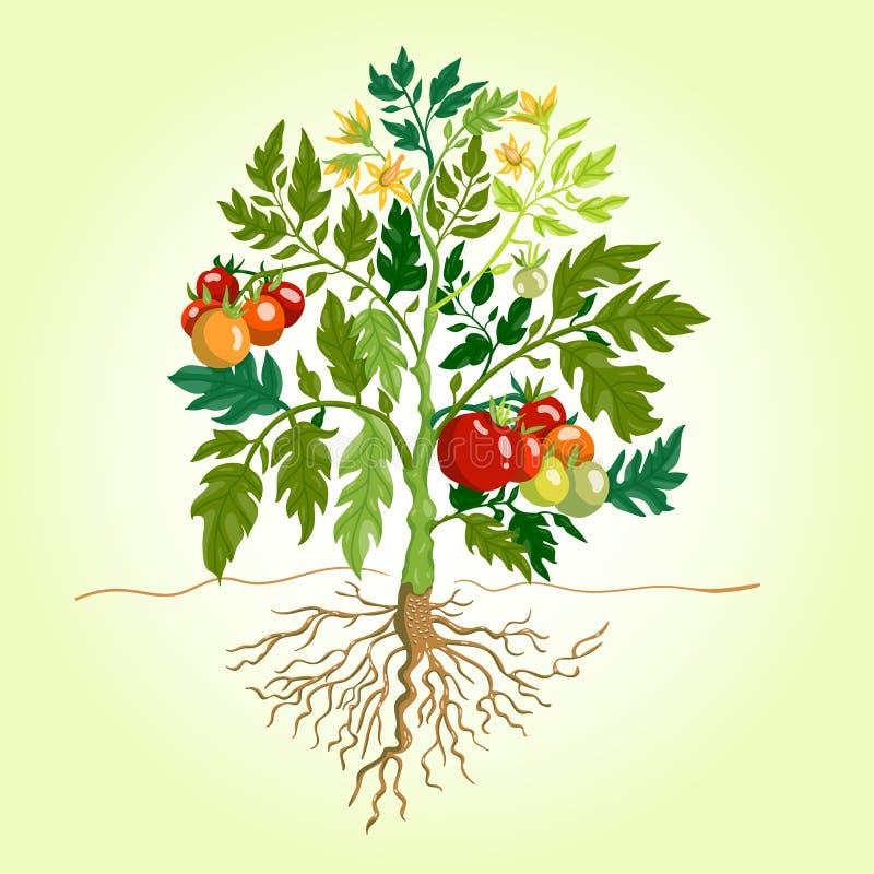 Ejemplo de Bush del tomate ilustración del vector