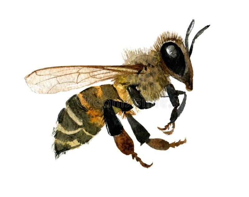 Ejemplo de la acuarela de la abeja de la miel en el fondo blanco stock de ilustración