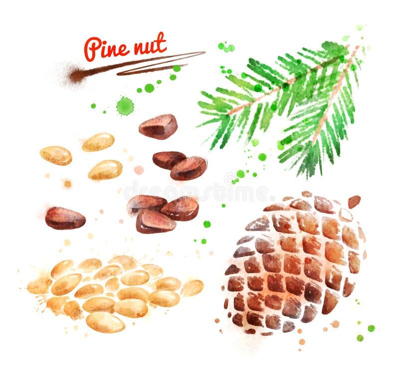 Ejemplo de la acuarela de la nuez de pino libre illustration