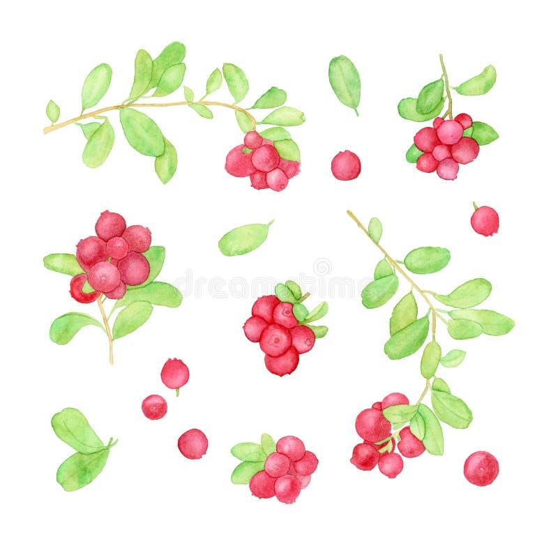 Ejemplo de la acuarela del arándano o del lingonberry ilustración del vector