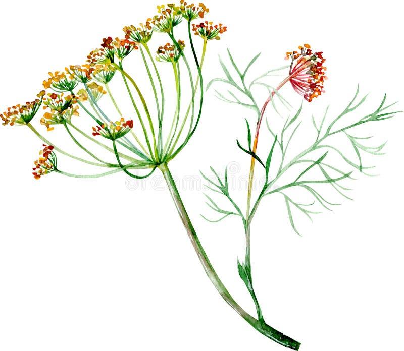 Ejemplo de la acuarela del eneldo con la flor y las semillas libre illustration