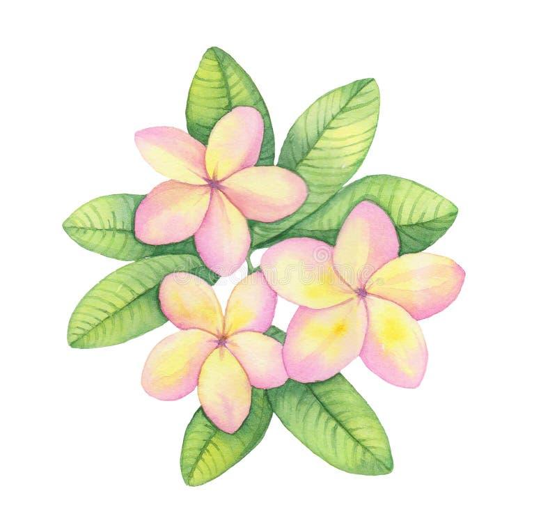 Ejemplo de la acuarela, flor hawaiana tropical, rama amarilla rosada del ramo del plumeria ilustración del vector