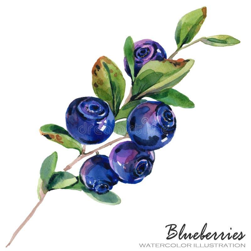 Ejemplo de la acuarela de Forest Blueberries libre illustration