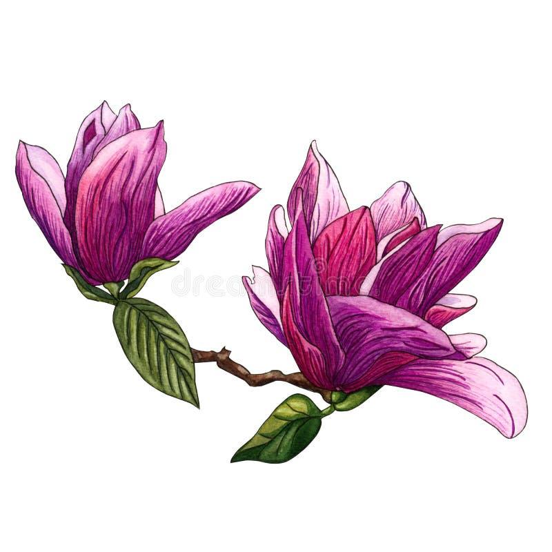 Ejemplo de la acuarela de las flores rosadas de la magnolia Rama de la magnolia con las flores y las hojas libre illustration