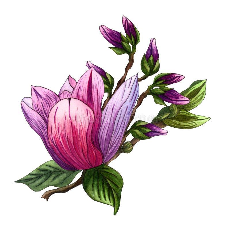 Ejemplo de la acuarela de las flores rosadas de la magnolia Rama de la magnolia con las flores y las hojas ilustración del vector