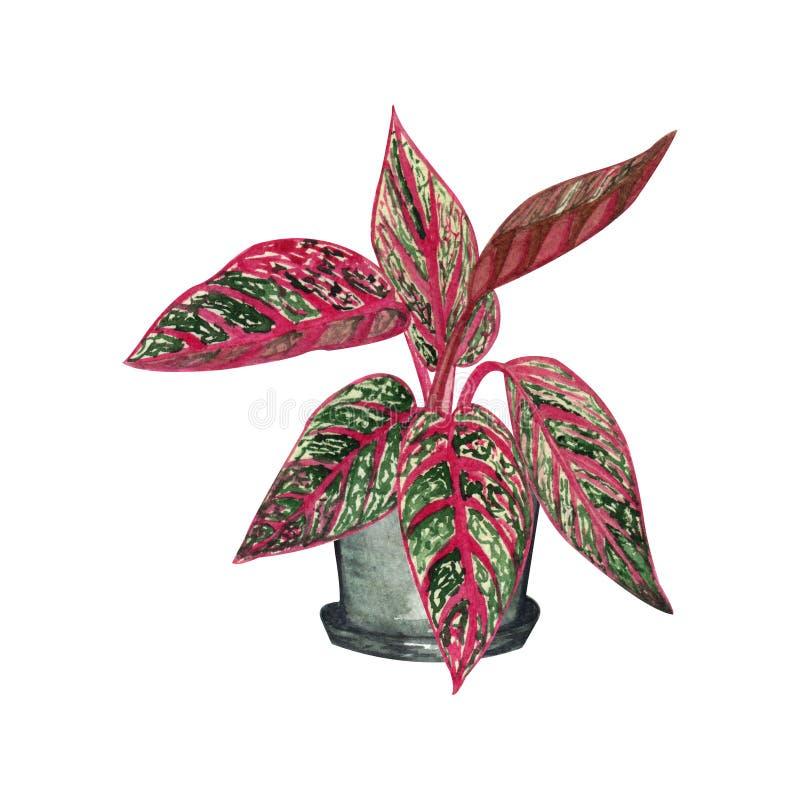 Ejemplo de la acuarela de la planta interior Herencia del Aglaonema en un pote lindo libre illustration
