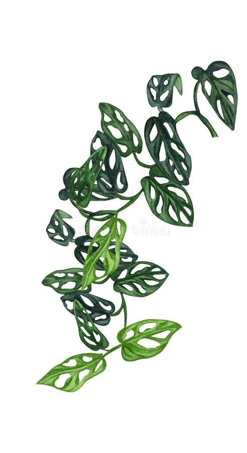 Ejemplo de la acuarela de la planta interior Monstera del beb? con las peque?as hojas liana stock de ilustración