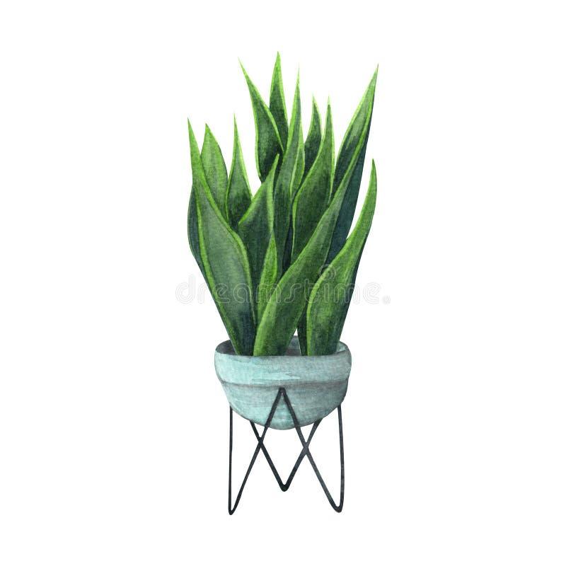 Ejemplo de la acuarela de la planta interior Plantas caseras, Sansevieria o planta de serpiente en un pote azul claro ilustración del vector