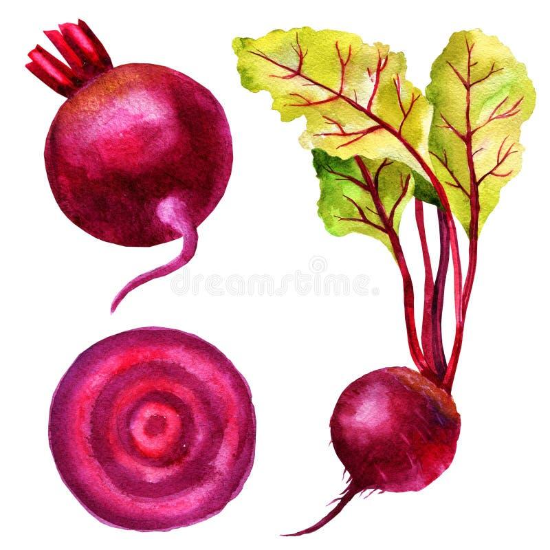 Ejemplo de la acuarela de la remolacha de la raíz, hojas del cardo, rebanada de las remolachas, sistema de verduras stock de ilustración