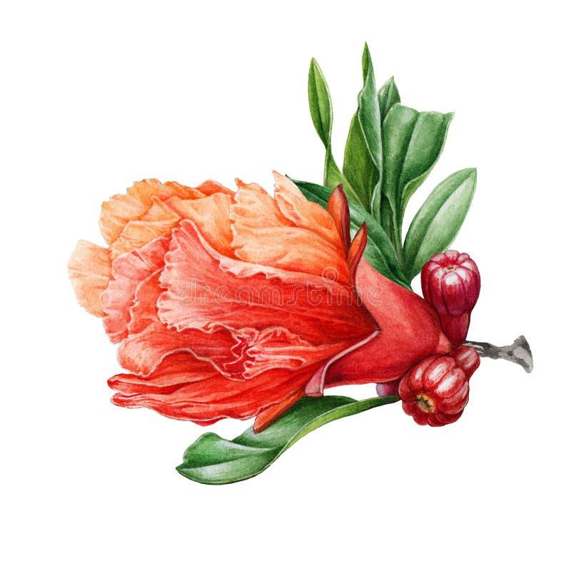 Ejemplo de la acuarela de una flor natural de la granada con las hojas y los pequeños flores Flor rojo exhausto de la mano botáni libre illustration