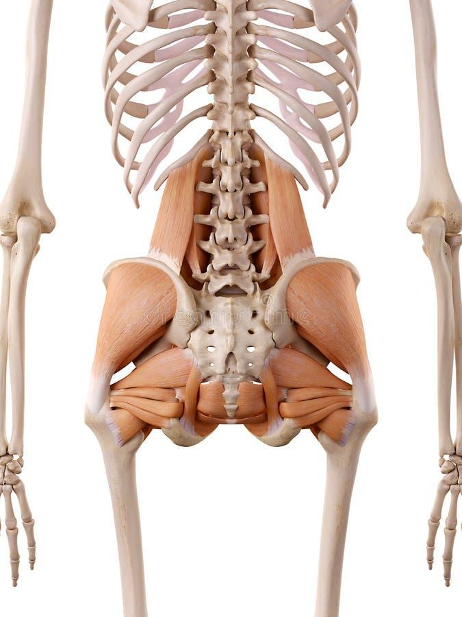 Ejemplo De La Anatomía - Músculos De La Cadera Stock de ilustración ...
