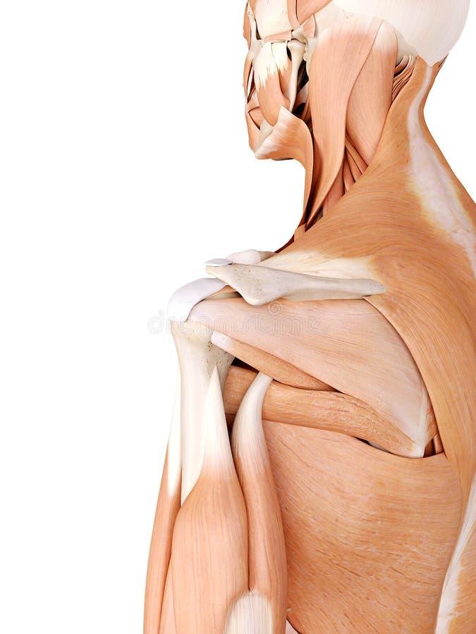 Ejemplo De La Anatomía - Músculos Del Hombro Stock de ilustración ...
