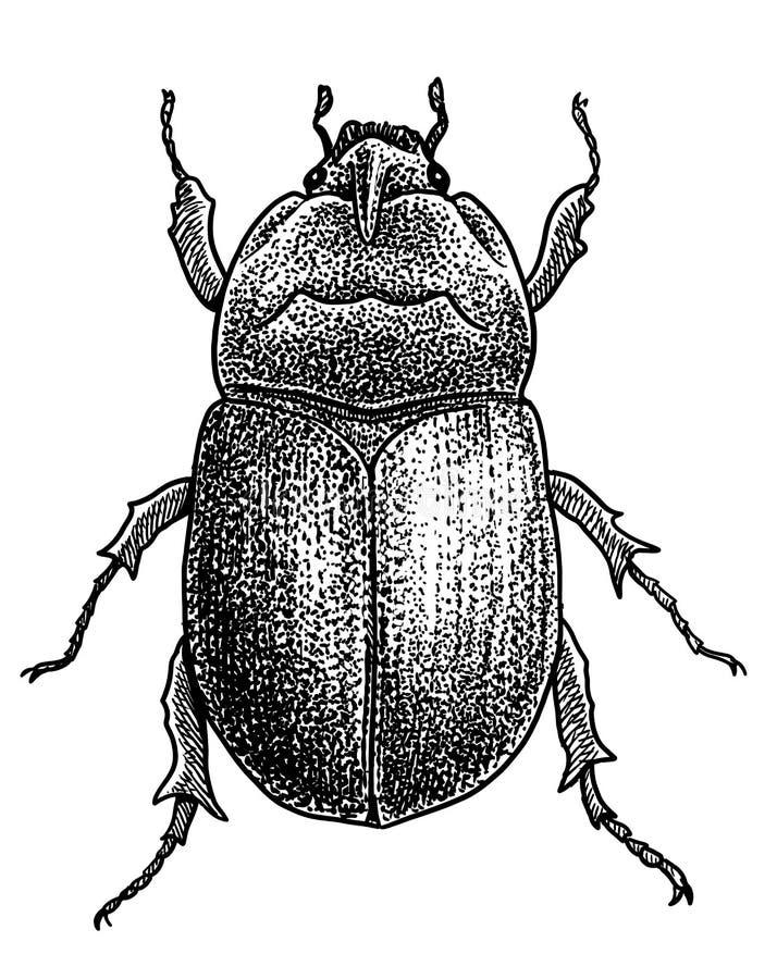 Ejemplo de la colección del insecto, dibujo, grabado, tinta, línea arte, ejemplo del escarabajo de los vectorRhinoceros, dibujo,  libre illustration
