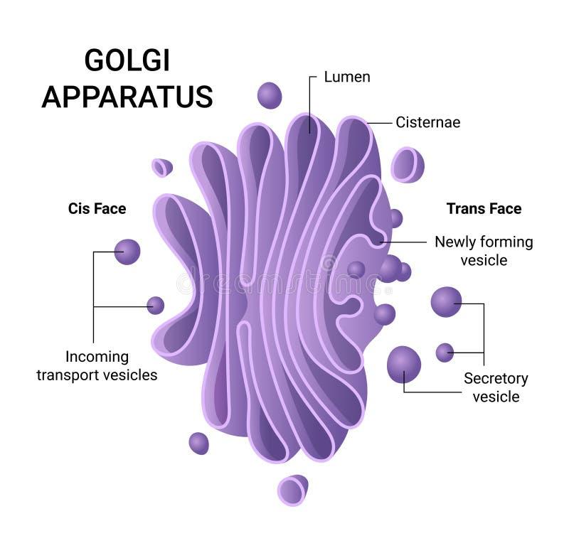 Ejemplo de la estructura del aparato de Golgi Infographics del vector stock de ilustración
