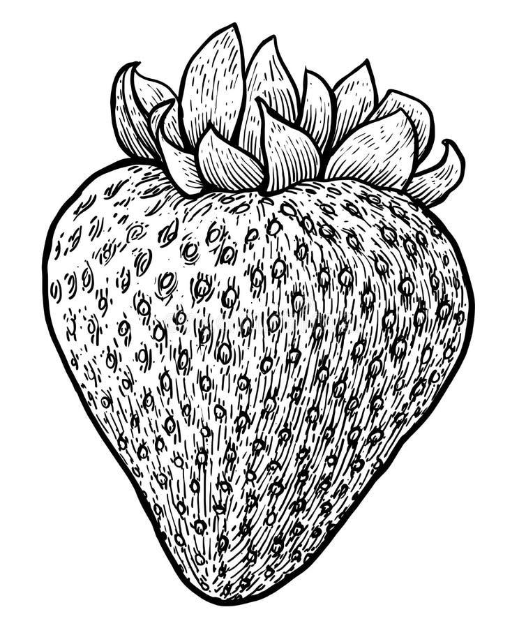 Ejemplo de la fresa, dibujo, grabado, tinta, línea arte, vector stock de ilustración