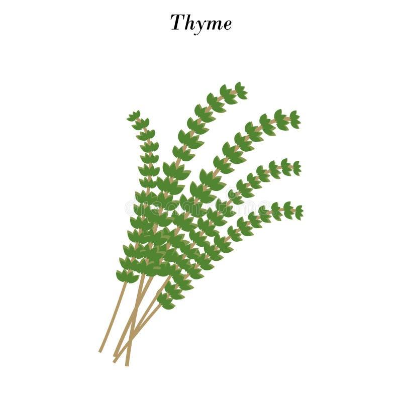 Ejemplo de la hierba del tomillo ilustración del vector