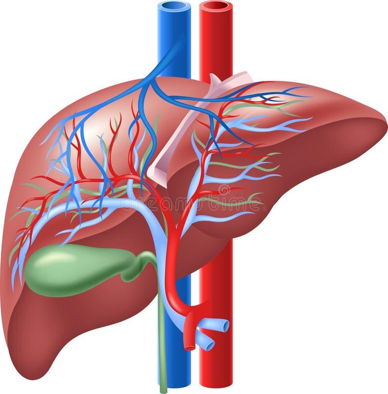 Ejemplo de la historieta del hígado y de la vesícula biliar internos humanos stock de ilustración