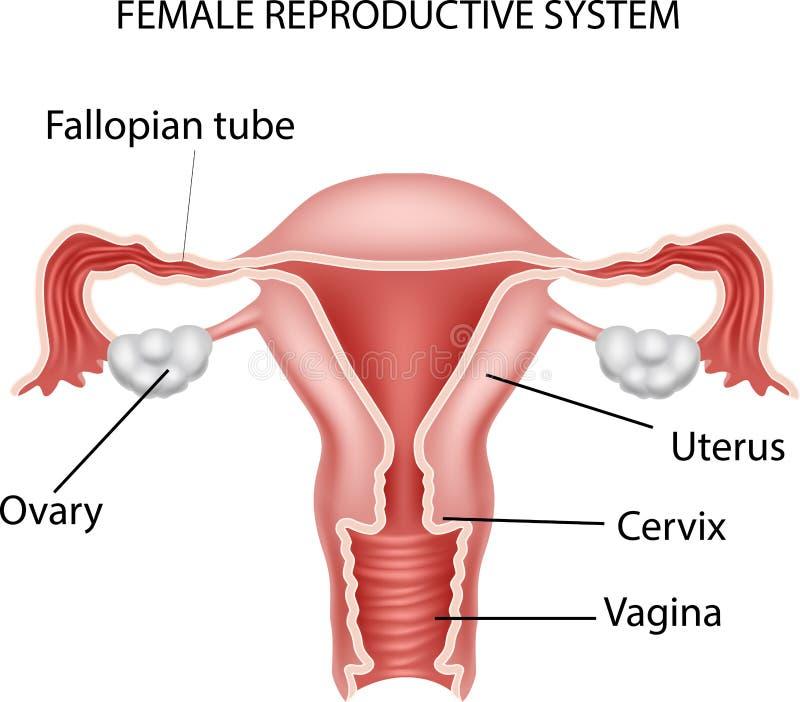 Increíble La Imagen De Sistema Reproductivo Femenino Y Piezas Regalo ...