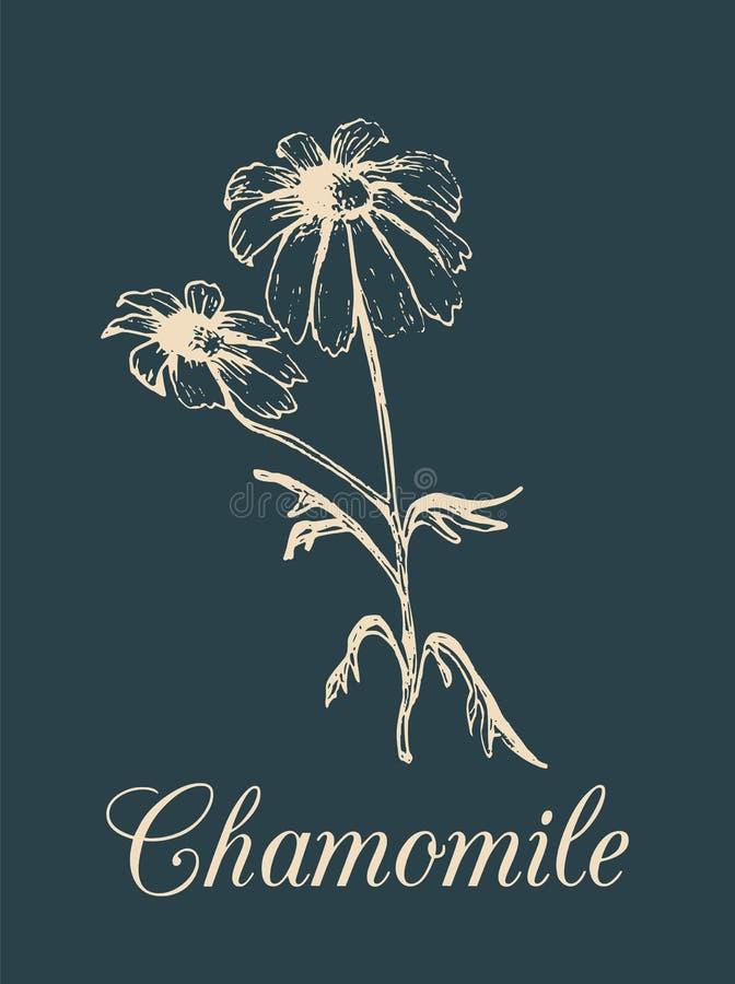 Ejemplo de la manzanilla del vector Dé el bosquejo botánico exhausto de la planta en estilo del grabado Margarita medicinal, cosm libre illustration