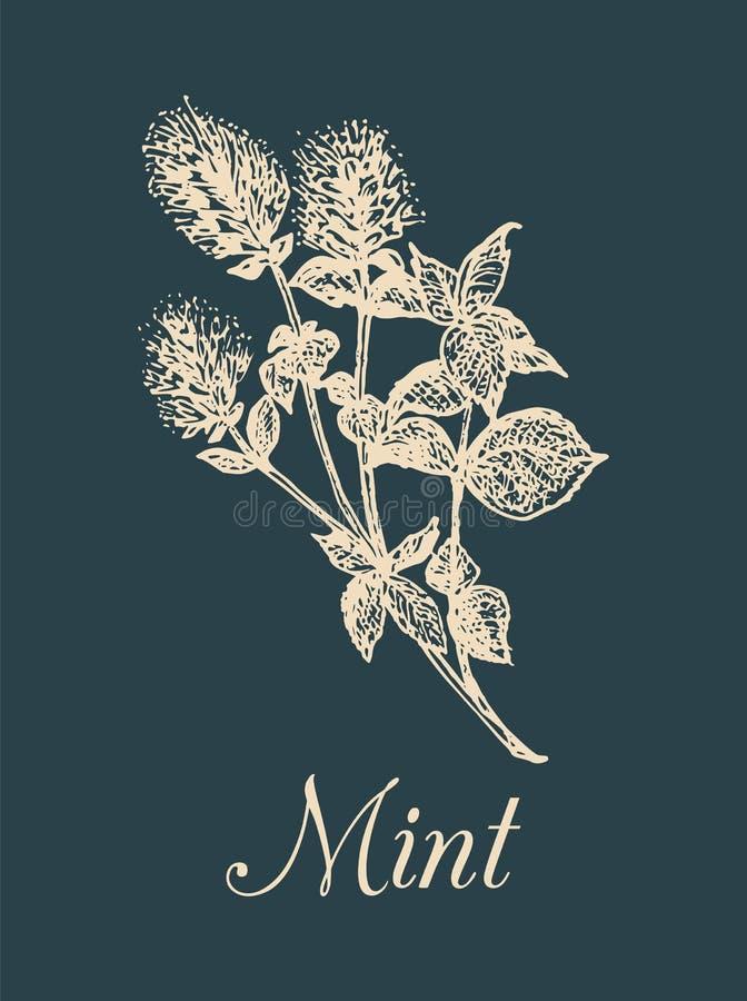 Ejemplo de la menta del vector Bosquejo aromático dibujado mano de la planta Imagen culinaria de la hierba Dibujo botánico en est libre illustration