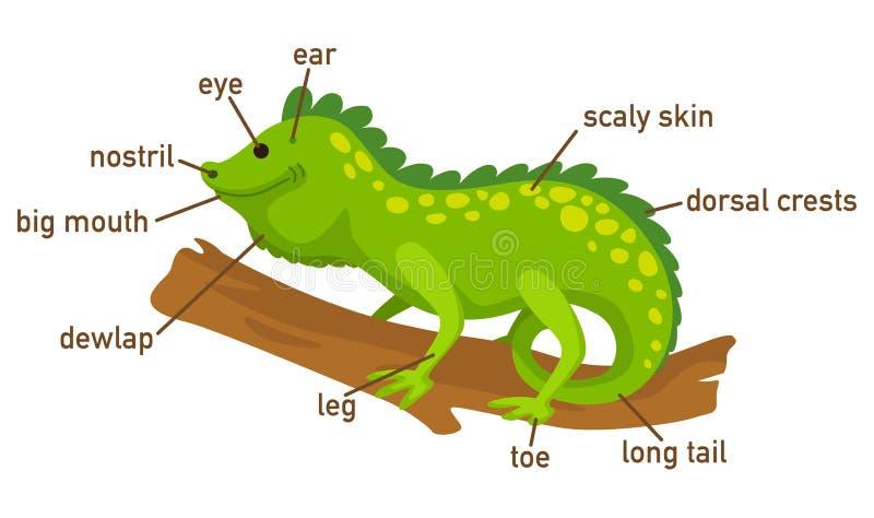 Ejemplo de la pieza del vocabulario de la iguana del cuerpo stock de ilustración