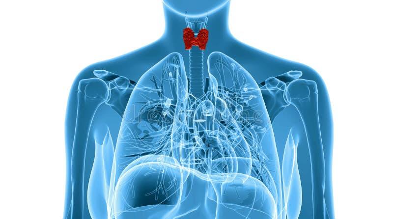 Ejemplo de la radiografía de la glándula tiroides femenina ilustración del vector