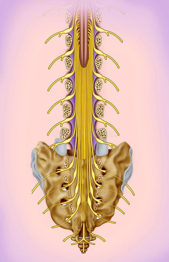 Ejemplo de la rama del nervio lumbar y sacro ilustración del vector