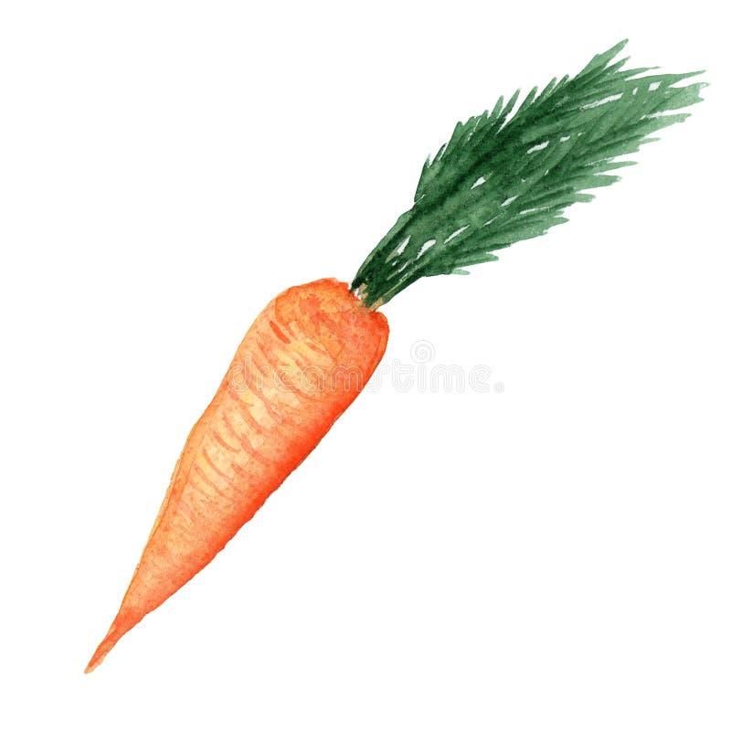 Ejemplo de la zanahoria vegetal de la acuarela con las hojas en un fondo blanco ilustración del vector