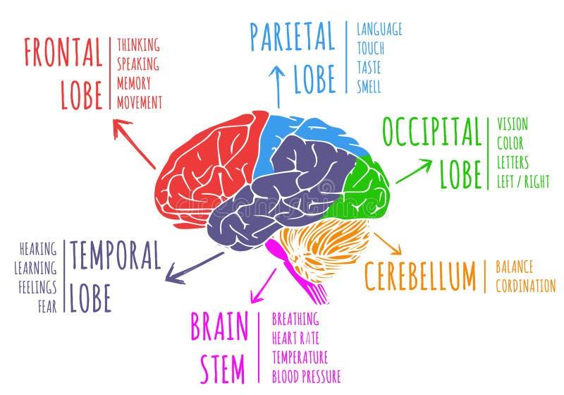 Ejemplo de las funciones y de la anatomía del cerebro de ser humano ilustración del vector