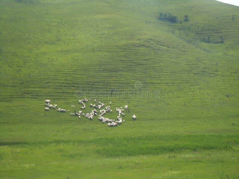 Ejemplo de las ovejas blancas en la colina verde Protector de pantalla foto de archivo libre de regalías
