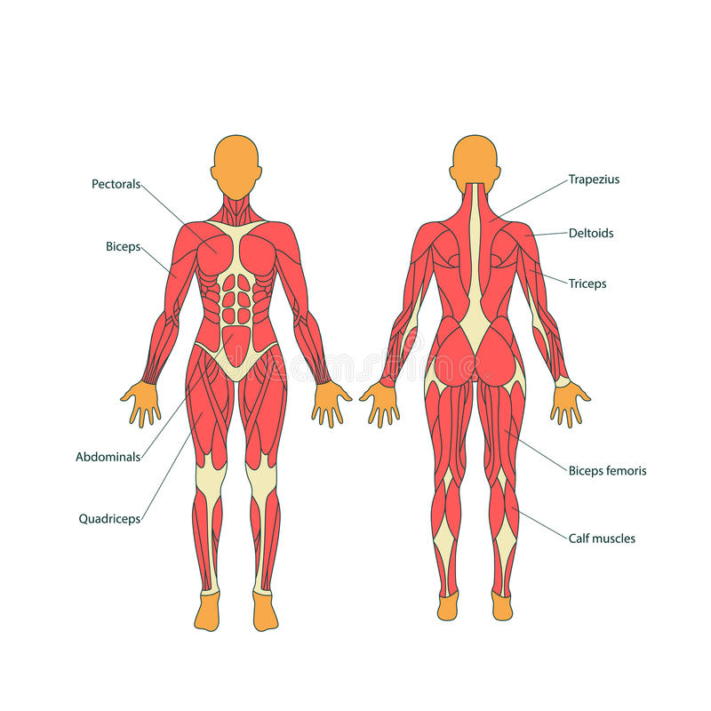 Ejemplo de músculos humanos El cuerpo femenino Entrenamiento del gimnasio Visión delantera y trasera Anatomía del hombre del músc stock de ilustración