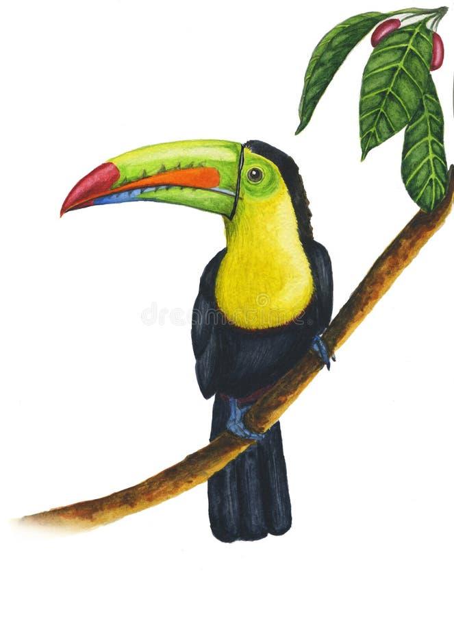 Ejemplo de un tucán quilla-cargado en cuenta pintado acuarela que se sienta en la rama en un bosque tropical en un backgroun blan stock de ilustración