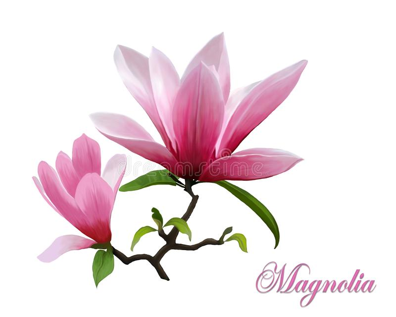 Ejemplo de una magnolia floreciente en un fondo blanco stock de ilustración