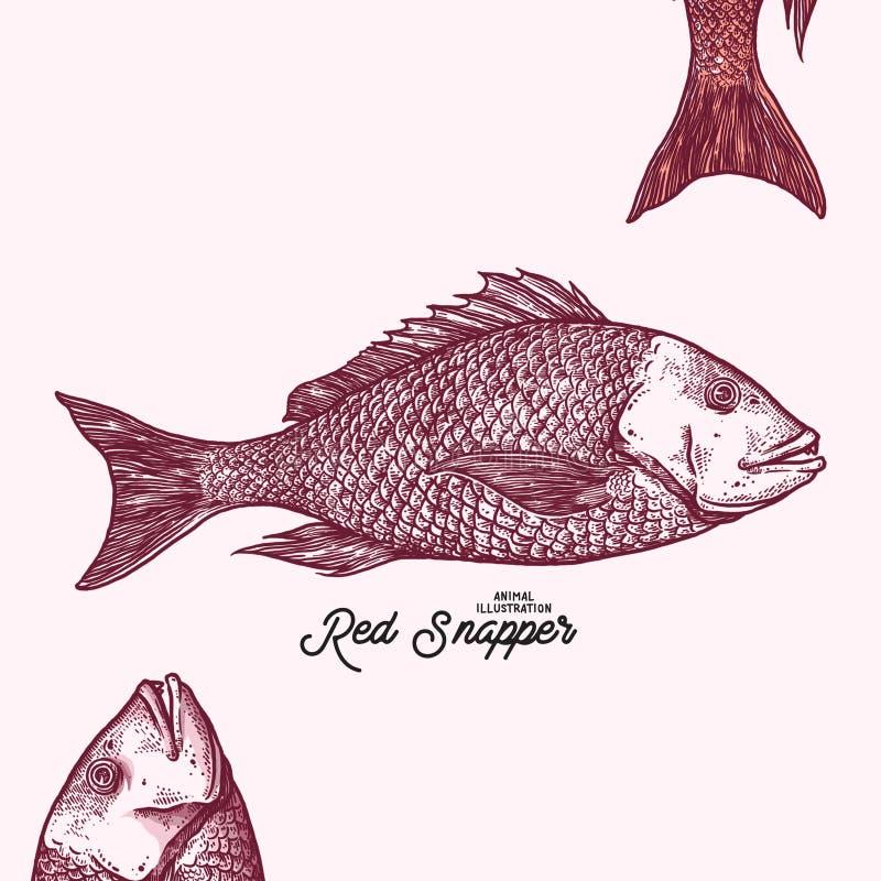Ejemplo del animal del pargo rojo imagen de archivo