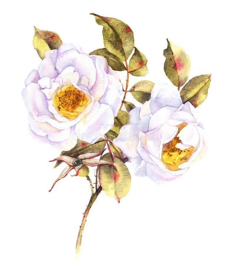 Ejemplo del arbusto de rosas blancas stock de ilustración