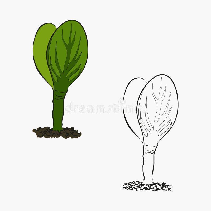 Ejemplo del contorno de las primeras hojas de la germinaci?n y del aspecto de plantas de las semillas libre illustration