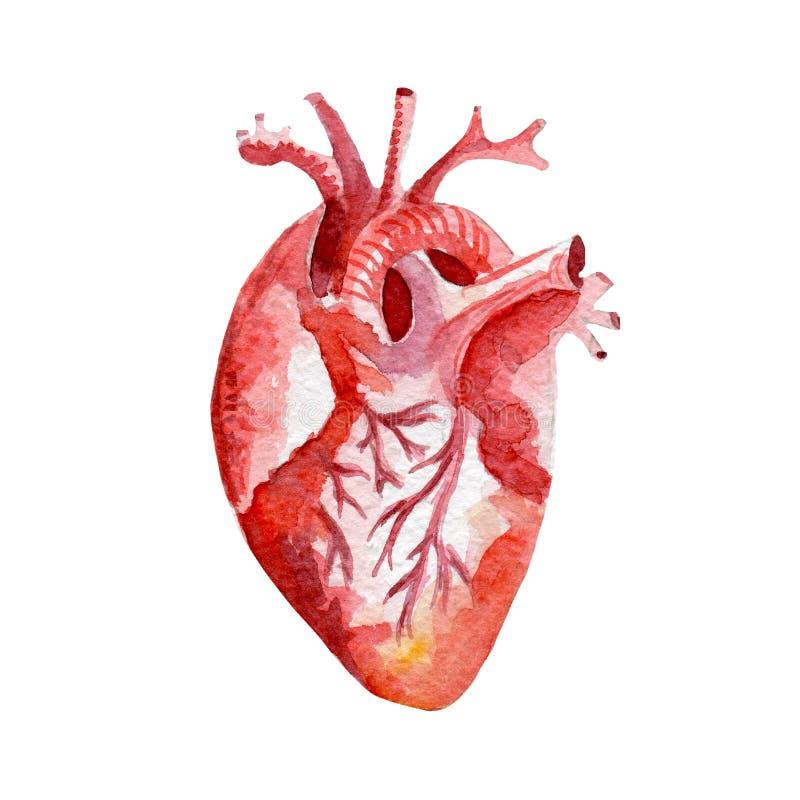 Fantástico Corazón Colorear Página Anatomía Componente - Dibujos ...