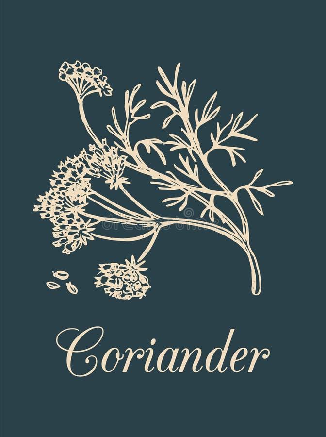 Ejemplo del coriandro del vector con las semillas y las flores Bosquejo botánico dibujado mano del perejil chino Planta de la esp ilustración del vector